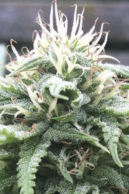 Indica / Sativa: The White Star