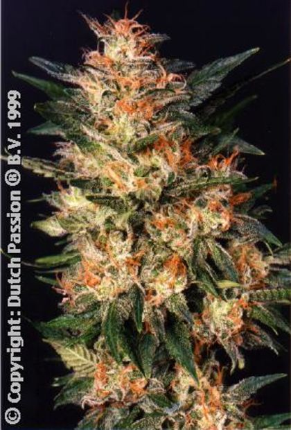 Featured Image of White Widow