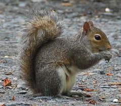 a dreaded wire munching grey squirrel