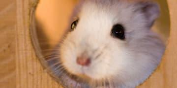 Top 5 điều bạn cần tránh trong cách nuôi hamster