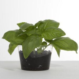 Full grown herbs