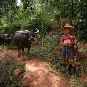 Wandern im malerischen Shan Staat (4 Tage) ab Inle Lake: activities: Buffalo on trails