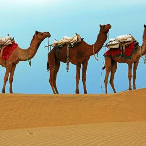 Rawalkot in Jaisalmer: Camels