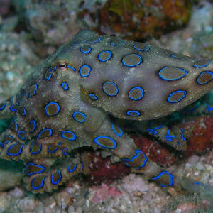 Atmosphere Resort à Negros: Diving Blue-ringed octopus