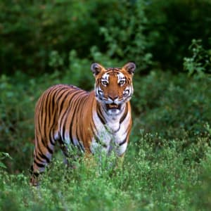 Evolve Back Kuruba Safari Lodge à Parc national de Nagarhole: Tiger