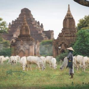 Le Myanmar authentique de Yangon: Bagan Temple and Cows