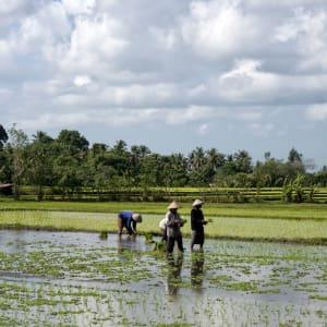 Découverte active de Bali de Sud de Bali: Bali Rice field
