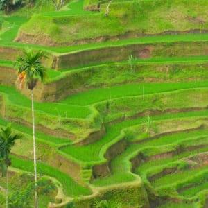 Höhepunkte Balis ab Südbali: Bali Rice Terraces