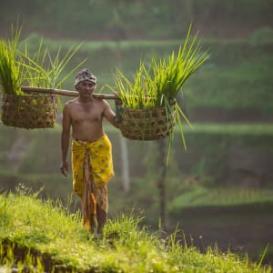 Bali Kompakt ab Südbali: Balinese Rice Farmer in Traditional Clothes in Rice Terrace Field