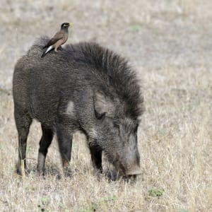 Taj Mahal & Tiger Safaris ab Delhi: Bandhavgarh National Park: Wild boar