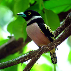 Bornéo Wildlife / Tabin Wildlife Reserve de Kota Kinabalu: Black-and-Yellow Broadbill