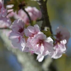 Vielfältiges Japan ab Tokio: Blossom
