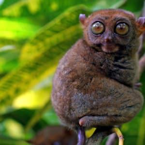 Naturwunder Bohol: Bohol Tarsier