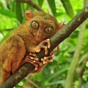 D'île en île individuellement aux Philippines de Manille: Bohol Tarsier (Tarsius Syrichta) the world's smallest primate