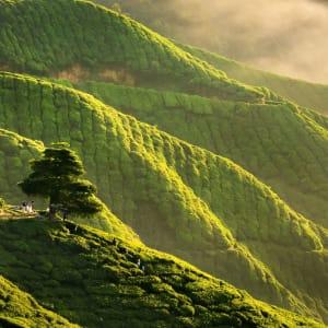 Höhepunkte Malaysias ab Kuala Lumpur: Cameron Highlands early morning sunrise