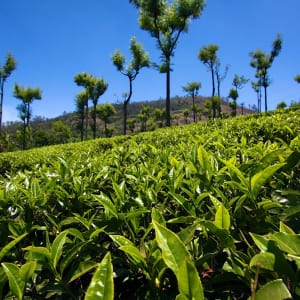 Le sud diversifié de l'Inde de Kochi: Coorg: Tea factory