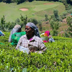 Le sud diversifié de l'Inde de Kochi: Coorg: Tea Plantation