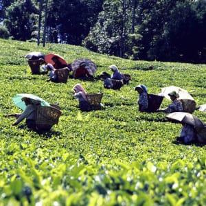 Himalaya Reise für Entdecker ab Bagdogra: Darjeeling: tea plantation