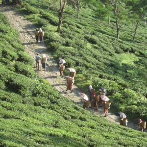 Glenburn Tea Estate in Darjeeling: Glenburn Tea Estate Tea Pickers returning from the field