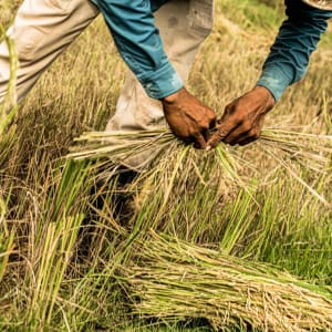Phum Baitang in Siem Reap: Rice Cultivation
