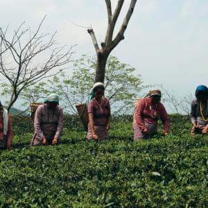 Glenburn Tea Estate à Darjeeling: Tea Pickers at Glenburn