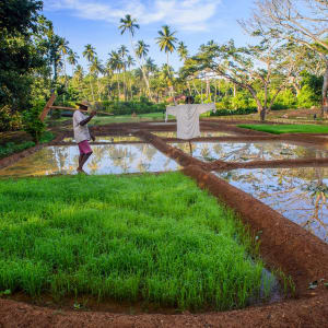 Anantara Peace Haven Tangalle Resort: Organic rice paddy field and farm