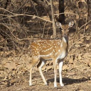 L'état inconnu de Gujarat de Ahmedabad: Gir Nationalpark: Antilope