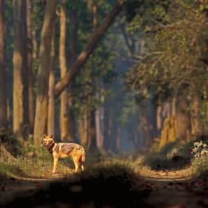 Jaagir Lodge Safari ab Lucknow: Golden Jackal