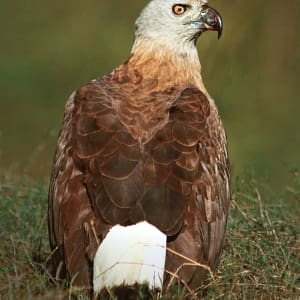 Jaagir Lodge Safari ab Lucknow: Grey headed fish eagle 2