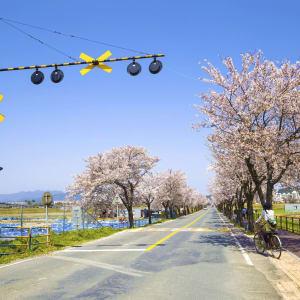 Grand circuit en voiture de location en Corée du sud de Séoul: Gyeongju road with cherry blossoms