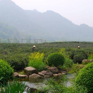 Escapade Tongli – Suzhou – Hangzhou de Shanghai: Hangzhou: Tea plantation