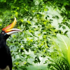 Vie sauvage de Bornéo / Borneo Rainforest Lodge de Kota Kinabalu: Hornbill