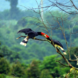 Vie sauvage de Bornéo / Borneo Rainforest Lodge de Kota Kinabalu: Hornbill In Love