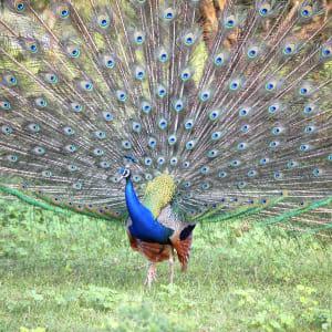 Découverte active du Sri Lanka de Colombo: Horton Plains: Peacock