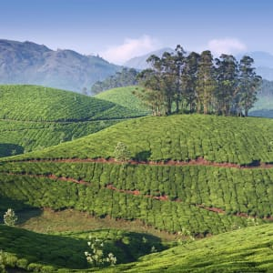 Naturschönheiten Keralas ab Kochi: Kerala: Tea Plantation