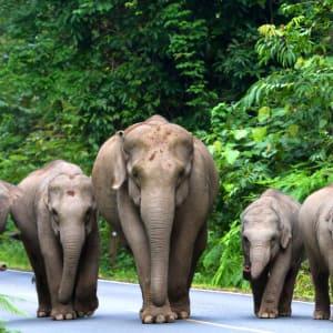 I-San - le trésor caché / BKK-Siem Reap de Bangkok: Khao Yai National Park: Wild elephants