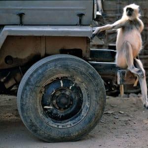 Aman Geniesser-Reise ab Jaipur: Langur Monkey