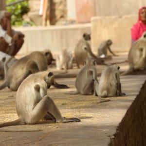 Aman Geniesser-Reise ab Jaipur: Langur Monkeys at temple