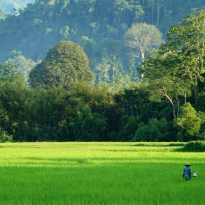 Le riz, source de vie! à Luang Prabang: Laos rice field