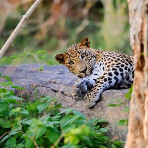 Découverte active du Sri Lanka de Colombo: Leopard in the wild