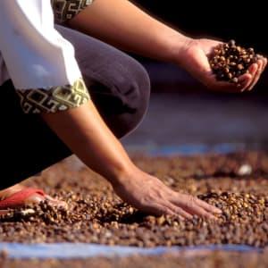 Java-Bali für Geniesser ab Yogyakarta: Losari: Coffee drying