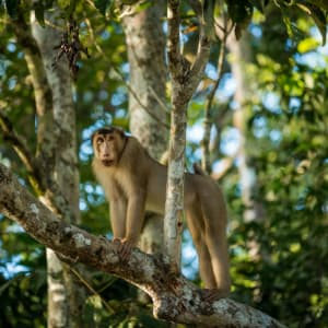 Borneo Wildlife / Tabin Wildlife Reserve ab Kota Kinabalu: Malaysia Borneo Macaque Ape