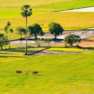 Flusskreuzfahrt nach Angkor ab Saigon: Mekong Delta: Farmer and cows walking on paddy field