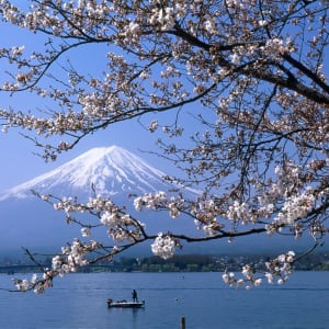 Kontrastreiches Japan ab Tokio: Mt. Fuji: cherry blossoms