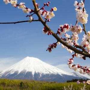 Tagestour Mt. Fuji und Hakone in Tokio: Mt. Fuji & Kirschblüten