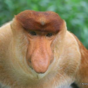 Vie sauvage de Bornéo / Borneo Rainforest Lodge de Kota Kinabalu: MurphyNg_proboscis monkey