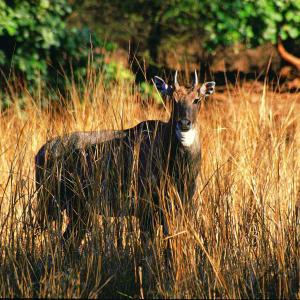 Taj Mahal & Tiger Safaris ab Delhi: National Park: Antelope