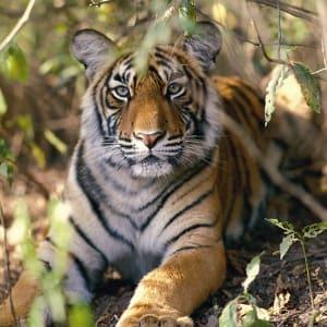 Taj Mahal & Tiger Safaris ab Delhi: National Park: Tiger