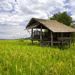Nature & éléphants dans le nord de la Thaïlande de Chiang Mai: Northern Thailand: Paddy field with hut