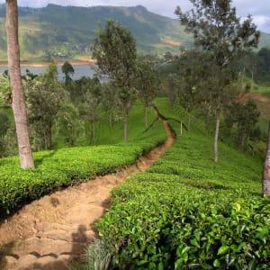 Le Sri Lanka pour les fins connaisseurs de Colombo: Nuwara Eliya: Tea Plantations